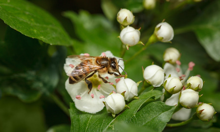 mellifera: Closeup of honeybee (Apis mellifera) feeding on flowering hawthorn (Crataegus monogyna) Stock Photo