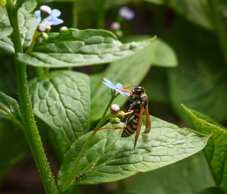 Macro of big wasp (Vespula vulgaris) climbing on tiny blue flower