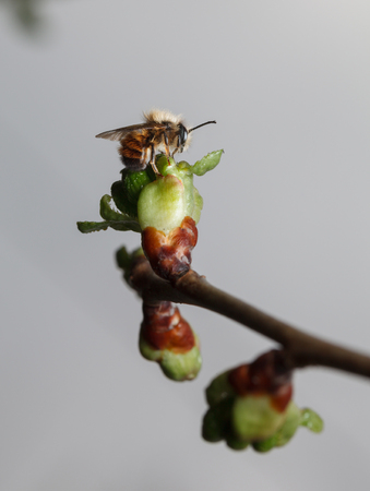 seasonal worker: Cherry twig with full buds and first bee over grey sky in early spring