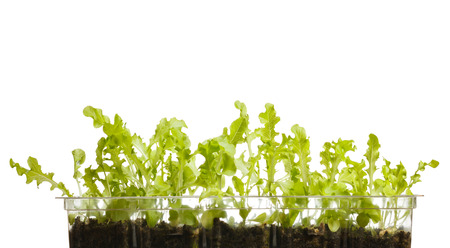 lactuca: Closeup of leaf lettuce (Lactuca sativa) seedlings growing in transparent plastic tray isolated on white  Stock Photo