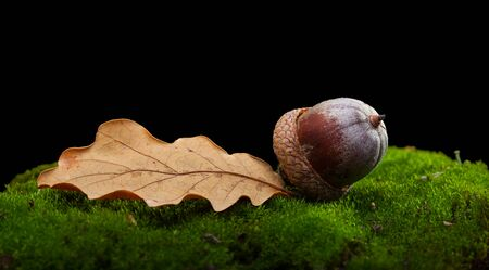 quercus: Macro of oak (Quercus) acorn and leaf on moss tussock on forest floor isolated on black