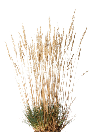 clustered: Closeup of yellow dried grass with panicle bunch clustered in tussock in autumn, isolated on white