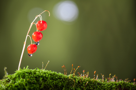 Horizontal low point of view macro of forest floor with moss and three red toxic berries of may lily (Convallaria majalis) after autumn rain   Stock Photo