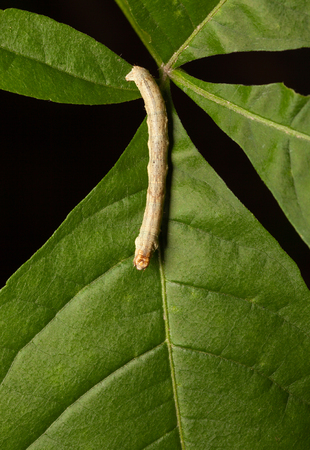 vermin: From above macro of yellow caterpillar crawling on green leaf Stock Photo