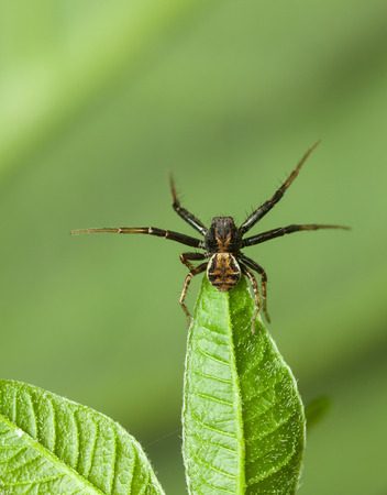 Macro of spider on leaf top spread its lags in combat pose