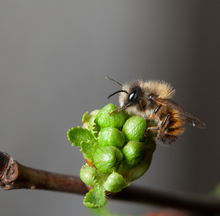 seasonal worker: Macro of first honey bee on unfold green cherry flower buds