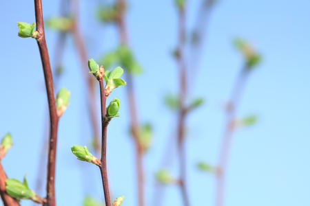 unfold: Closeup of twigs with leaf buds ready to burst over blue sky background Stock Photo
