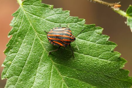 Macro from above of Minstrel Bug (Graphosoma lineatum) on green leaf