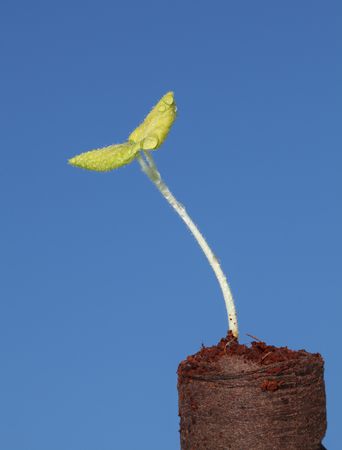 plantlet: Macro of vegetable seedling in peat briquette ready for plant over blue sky background