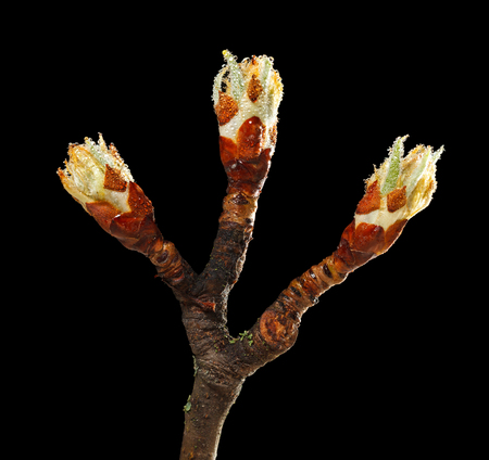 Macro of tree flower buds on pear brunch after the rain isolated on black 免版税图像