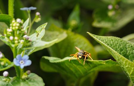 Macro low angle en face view of big wasp (Vespula vulgaris) resting on green leaf