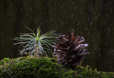 Macro of pine cone and tiny germinant fir tree sprout growing at tussock in forest at rain over dark forest background