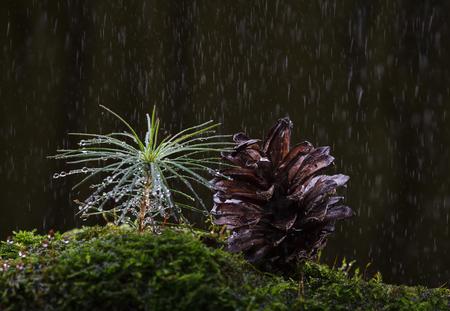 Makro borovice kužel a drobné klíčící jedle klíčky rostoucí v tusku v lese při dešti přes tmavé lesní pozadí