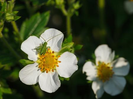 Macro of tiny grasshopper larva resting on strawberry flower at sunny summer day  Stock Photo