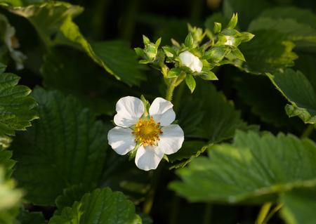 Macro of flowering strawberry (Fragaria ananassa) at spring garden  Stock Photo