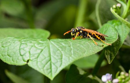 Macro low angel lateral view of stripped wasp (Vespula vulgaris) resting on green leaf
