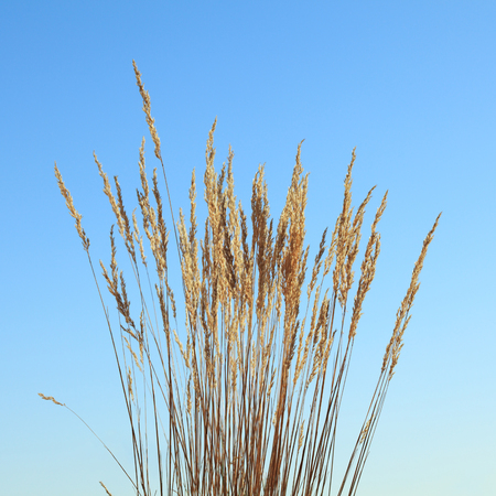 Wild grass dry ripe tassels over blue sky background at autumn