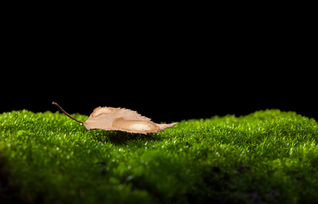 Macro of tiny yellow abscissed birch (Betula) leaf on green moss with big water drop after the rain isolated on black