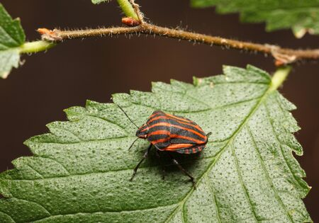 graphosoma: Macro of shield bug (Graphosoma lineatum) on tree leaf Stock Photo