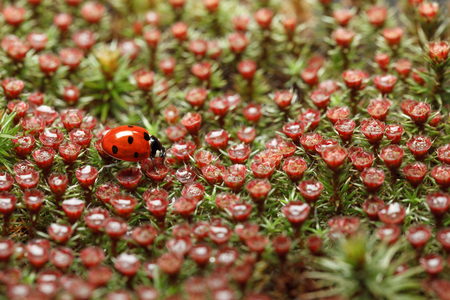 Micro field of blooming haircap moss (Polytrichum piliferum) with rain drops and seven-spotted ladybird (Coccinella septempunctata), shallow depth-of-field