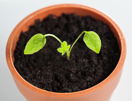 plantlet: Tiny sprout of Delphinium growing  in small red flowerpot
