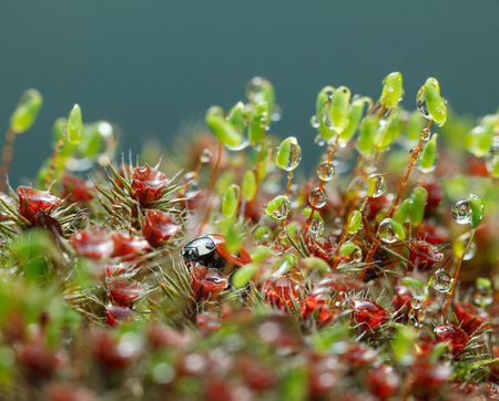 Macro of rain drops on red blooming sporophytes of Haircap and green capsules of Pohlia nutans moss and seven-spotted ladybird (Coccinella septempunctata), hidden in mossy forest floor