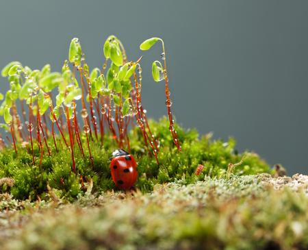 Macro van rood onzelieveheersbeestje (Coccinella septempunctata) op bosbodem gaan klimmen op mos (Pohlia nutans) sporofyten stengels met groene capsules, waterdruppels na de regen