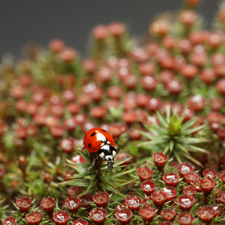 Macro en face of seven-spotted ladybug (Coccinella septempunctata) on haircap moss (Polytrichum piliferum) with red blooming sporophytes, shallow depth-of-field Stock Photo