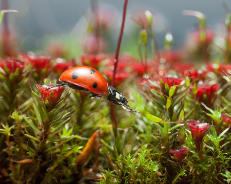 Macro low point side view on seven-spotted ladybird (Coccinella septempunctata) stretched to step from one blooming Haircap moss (Polytrichum piliferum) red gametophyte to another