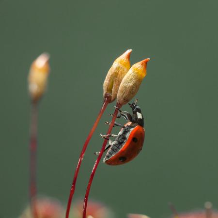 Haircap 이끼 (Polytrichum piliferum) seta 스토킹에 집착 7 발견 무당 벌레 (Coccinella septempunctata)에 매크로 측면보기