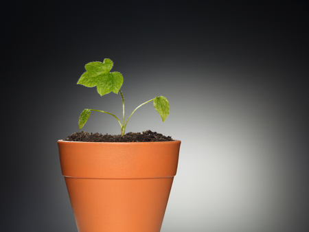 plantlet: Tiny sprout of Delphinium germinant growing  in small red flowerpot over dark background
