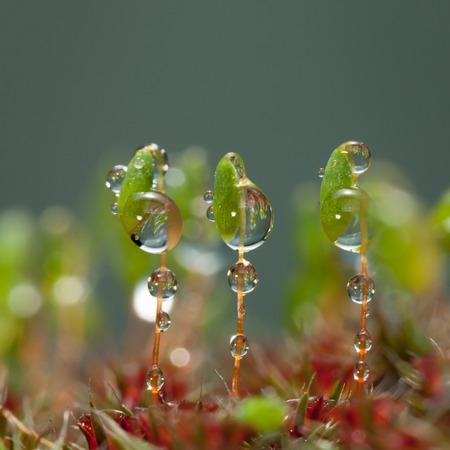 매크로의 비가 세 Pohlia nutans moss 포자 캡슐 줄기에 삭제합니다. 스톡 콘텐츠