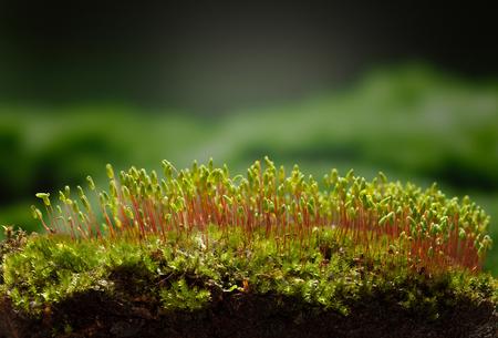 근접 촬영 낮은 관점에서 pohlia 이끼 (Pohlia nutans) 덮여 hummock에보기,