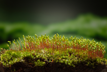 hummock: Closeup low point of view on hummock covered by pohlia moss (Pohlia nutans) Stock Photo