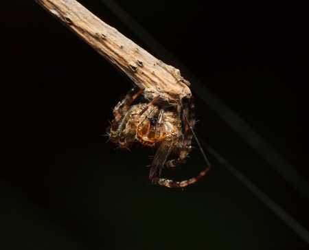 Macro en face of diadem spider(Araneus diadematus), cling too twig over dark background