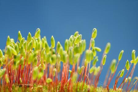 파란색 배경 위에 숲 바닥에 이끼 패치 (Pohlia nutans)의 매크로