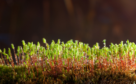 Macro low point of view on forest floor - bryum moss (Pohlia nutans) with rain drops