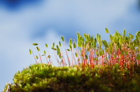 Macro of bryum moss (Pohlia nutans) with green spore capsules over blue cloudy sky background Stockfoto
