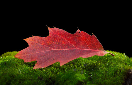 Macro of single red oak (Quercus) dead leaf on green moss hillock isolated on black