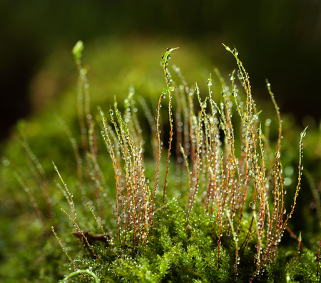 Macro of bright rain drops on young red moss sporophytes (Bryophyte) on forest floor