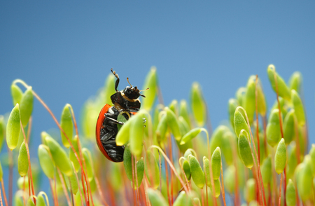 Low angle underside view of ladybird raise up from moss green sporophytes over blue sky background  Stock Photo