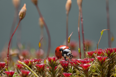 Macro low angle view of seven-spotted ladybird (Coccinella septempunctata) rests on blooming red Haircap moss (Polytrichum piliferum) among sporophyte seta stalks  Stock Photo