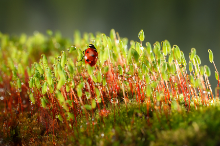 Macro of red ladybird climbs on Pohlia moss stalks (Pohlia nutans) covered by dew drops