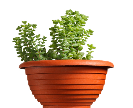 Succulent plant (Crassula monticola) potted in red plastic flowerpot isolated on white background