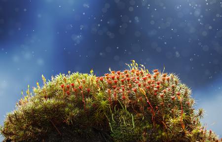 파란색 배경 위에 꽃 haircap 이끼 (Polytrichum 코뮌)와 비에 이끼 hillock 스톡 콘텐츠