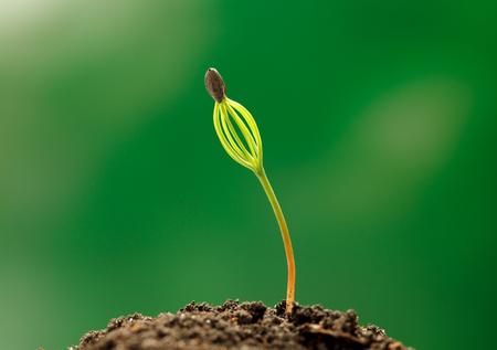 macro de pin tree tree avec le haricot libellule est toujours attaché à feuilles Banque d'images