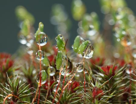 enebro: Macro of big water drops on pohlia moss capsules (Pohlia nutans)