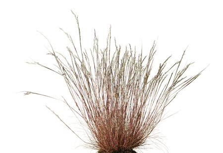 Close-up of dry wild grass tussock isolated on white background