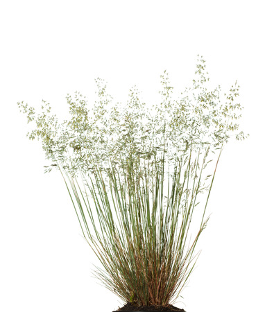 Close-up of blooming wild grass tussock (Poa annua) isolated on white background Stock Photo