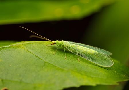 Vista de ángulo bajo macro de lacewing o mosca de ojos dorados (Chrysopidae, Chrysopa sp.) En la hoja verde Foto de archivo